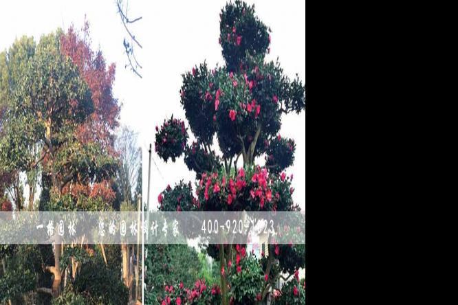 一格园林苗圃讲解桂花树的种植技巧与管理方法
