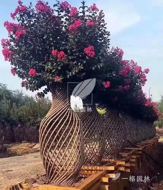 一格园林苗圃基地——上海树苗、进口苗木、园林苗木生产