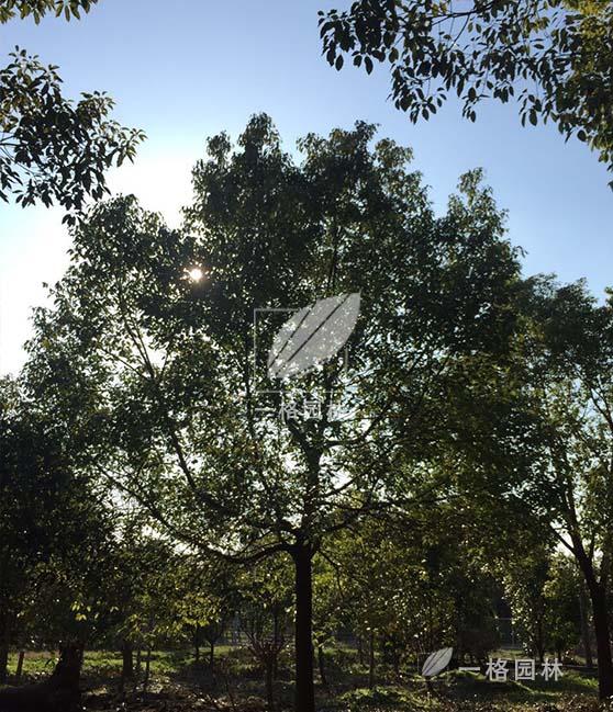 采购园林景观普通苗木,进口苗木,请找上海一格园林苗木